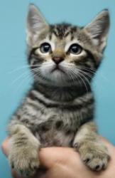 Adoptable Fridays: Meet Finch! Finch is an adoptable Domestic Short Hair Cat in New Orleans, LA. He's a super cute and playful kitten waiting for his forever family! Find out more about Finch! #pets #animals #kittens