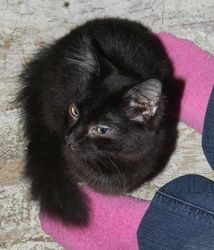 URGENT-Zack - URGENT is an adoptable Domestic Long Hair-Black Cat in Warner Robins, GA. Owner needs to place very soon or kitties will be taken by Animal Control due to a neighbor complaint. Zack is a very ...