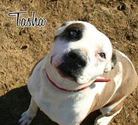 Tasha is an adoptable Pit Bull Terrier Dog in Mechanicsburg, PA. Tasha came to us from a high-kill shelter on the day she gave birth to 10 puppies.  Sadly, she gave birth in the shelter, in a regular...