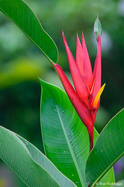 Heliconia Photo, Costa Rica