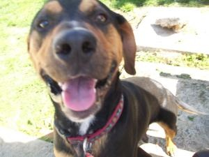 Bentley, the dog formerly known as Prince is an adoptable Rottweiler Dog in Mechanicsburg, PA.  ? ? ? ? ? ? ? ? ? ? ? ? ? ? ? ? ? ? ? ? Bentley came to Im-Paws-Able from the Charles City, VA animal sh...
