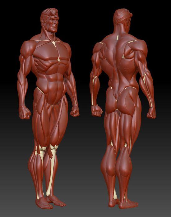 Male Full Body Musculature