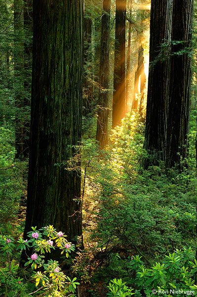? Redwood Trees in Del Norte Coast Redwoods State Park - Redwood National and State Parks, California