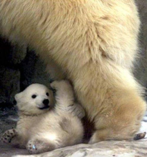 Baby Polar Bear!! SO CUTE