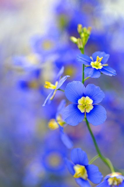 ? blue flowers ?