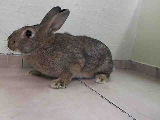 #NewYork #URGENT ~ Penelope ID A0984918 is a Spayed Bunny Rabbit in need of a loving #adopter / #rescue at MANHATTAN ANIMAL CONTROL #Adoption info page  nycacc.org/Adopt.htm 326 E 110th St #NewYork NY 10029 mailto:adoption@n... Ph 212-788-4000