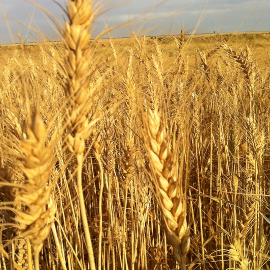 Wheat Field -love the gold and texture