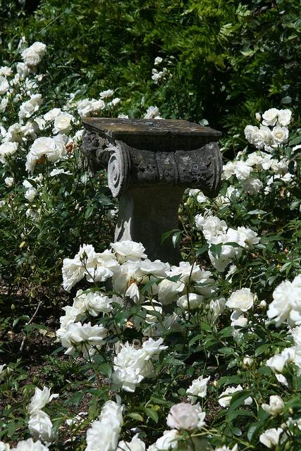 White Rose Garden