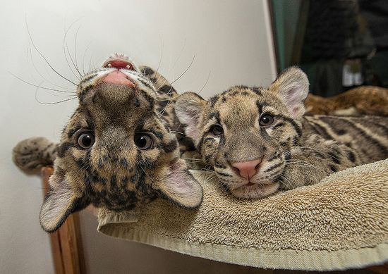 Clouded leopard cubs Riki-san and Haui-san give hope to their species. #sandiegozoo #coolcats