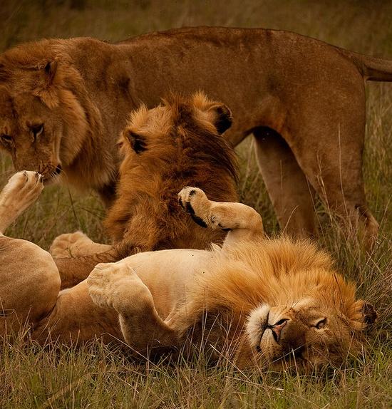 Safari Kenya Masai Mara Lion Playing