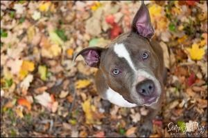 Plutonium is an adoptable Pit Bull Terrier Dog in Dublin, OH. PLEASE NOTE: We have to be able to do a home visit prior to adoption (at your house), so unless special arrangements can be made we cannot...