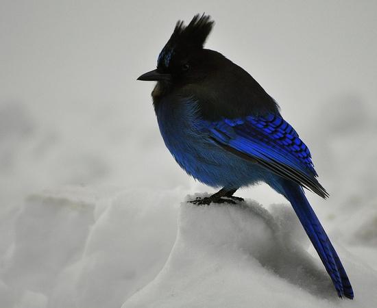 Blue bird at Mt. Rainer