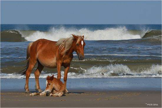 Wild Mare & Foal @ Seaside by Marina Scarr, at Outerbanks, North Carolina.