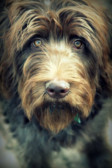 labradoodle - I want one!!
