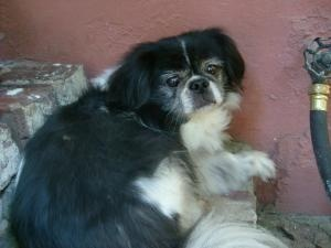 Harry is an adoptable Pekingese Dog in Santa Monica, CA. Handsome Harry is a an 8 year old Pekingese who was rescued from the streets....Harry is a real character with lots of personality and will mak...