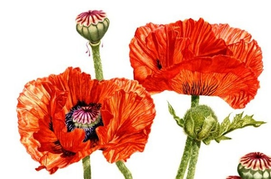 Red Oriental Poppies