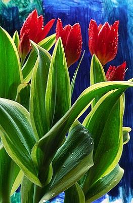 Flowers...Flowers...Flowers...Tulips