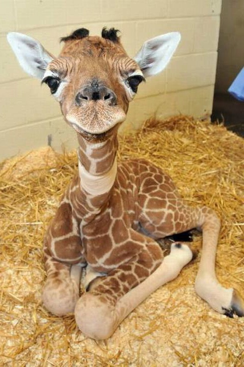 This baby giraffe photo is from...Amazing things in the world photo's on Facebook....So cute!