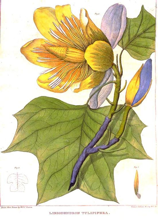 Botanical - Tree - Tulip tree