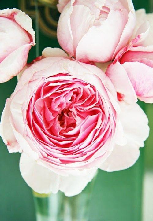 {English roses}