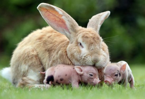 Bunny Taking Care Of Mini Pigs. Sweet.