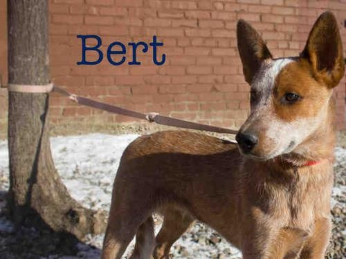 BERT is an #adoptable Australian Cattle Dog (Blue Heeler), Border Collie Dog in #Pittsburgh, #PENNSYLVANIA Look at me !!! My name is Bert and that is my brother Ernie in the next photo. We were surrende ... ...Read more about me on @petfinder.com