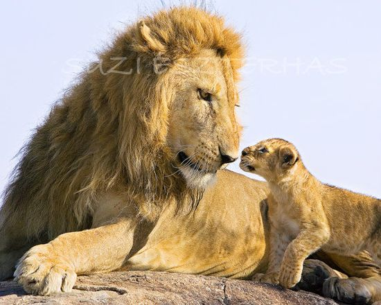 LION BABY and DAD- 8 X 10 Photo - Baby Animal Photograph, Wildlife Photography, Wall Decor, Nursery Art, African Safari, Nature, Fathers Day