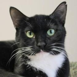 Pinky: an adoptable Domestic Short Hair tuxedo cat at A.D.O.P.T. Pet Shelter in Naperville, IL