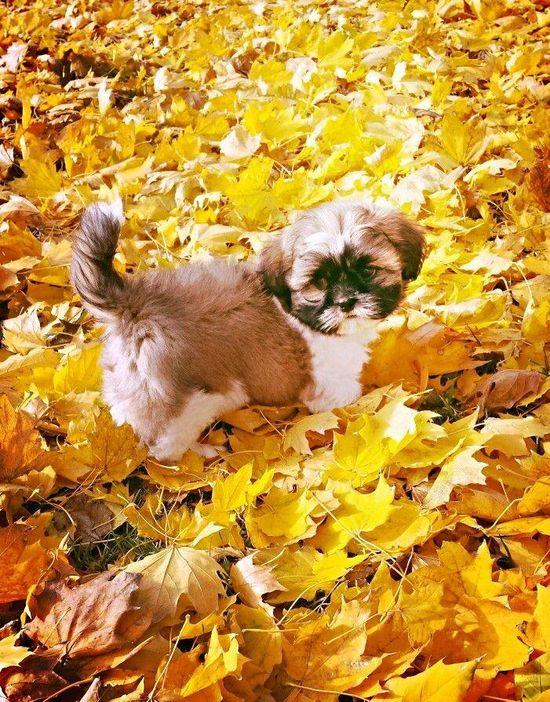 #cute pet #dog #shih tzu