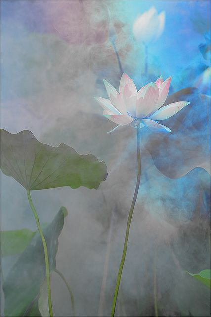 Lotus Flower Surreal Series: DD0A0145-1000 by Bahman Farzad, via Flickr