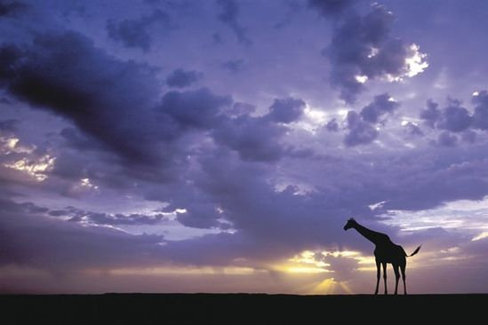 i love giraffes omg
