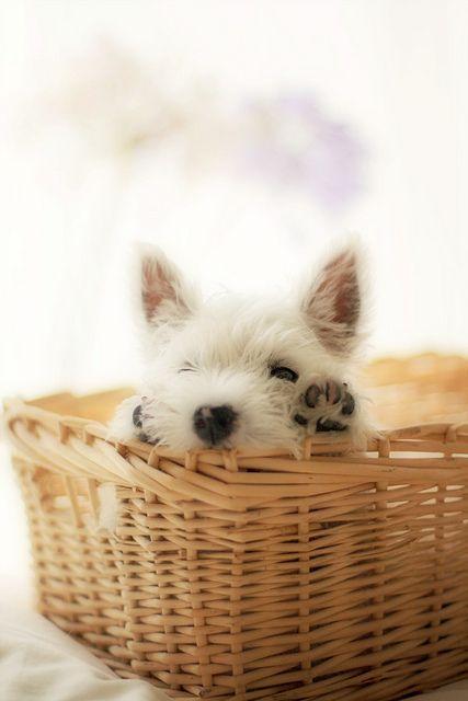 westie in a basket