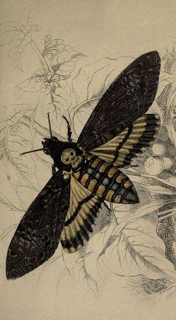 Death's Head Sphinx Moth