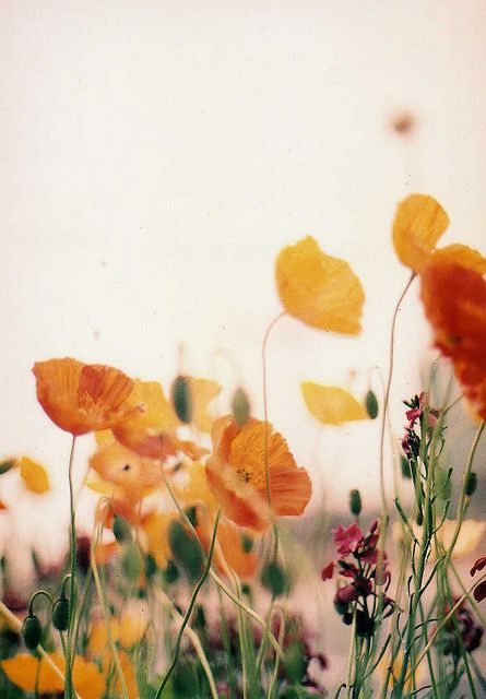 Poppies. By Darako.