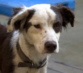 Springer is an #adoptable Spaniel #Dog in #Martinsville, #INDIANA. Springer is a lively boy that loves to jump, play and entertain with his puppy enthusiasm! He gets along wonderful with the other dogs in his...