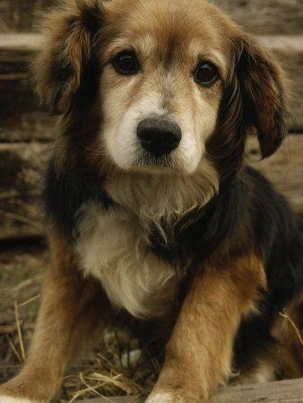 Golden Retriever Beagle mix