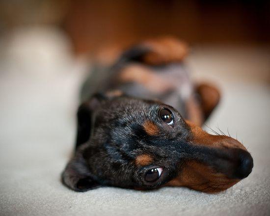 Sweet dachshund face