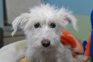 Adopt Ramona, the puppy-eyed 1 year old Westie mix www.petfinder.com...