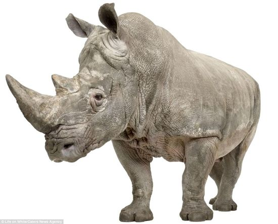 Rhino by Eric Isselee who with his team travel the world  capturing astounding studio images of  animals for a massive project 'Life On White'to create the largest collection by a single photographer, of animals photographed in front and on a white background. via dailymail.co.uk www.lifeonwhite.c... #Rhinoceros #Photography #Eric_Isselee #Life_On_White #dailymail