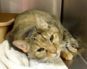 Marietta, Ga: Winnie 17 YEAR OLD CAT DUMPED by OWNER-   turned in on 5/9/13 they said she is good with kids and litter trained. She is up to date on shots, spayed, and will be combo tested and microchipped when adopted. She is front declawed so she must stay indoors. ID is 555050, in cage 638.  When calling the shelter please use THE ID NUMBER. Cobb County Animal Shelter, 1060 Al Bishop Drive Marietta, Georgia call (770) 499-4136 for more info.
