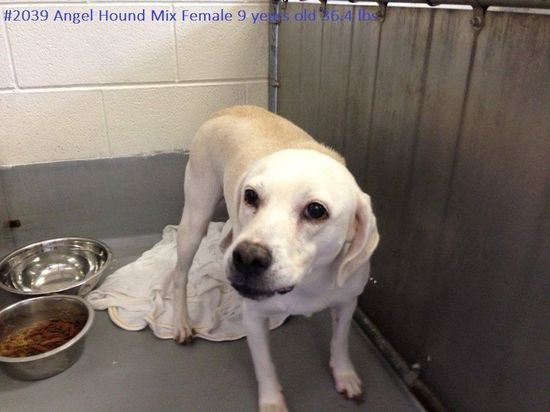 #WVIRGINIA #URGENT #GassingShelter - Angle ID 2039 is a Labrador Retriever mix dog who's very scared here at the shelter & she needs someone to be patient with her & show her not everyone is bad. She'd do best right now in a home without small children & is in need of a loving #adopter / #rescue at HUMANE SOCIETY of RALEIGH COUNTY 325 Gray Flats Rd Beckley WV 25802 mailto:rcpets@hot... P 304-253-8921