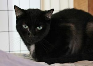 Micah is an adoptable Domestic Medium Hair-Black Cat in Beacon, NY. Hi, I'm Micah. I've been here a while, and I'm not really sure why. I'm a really playful, funny and quirky guy, and I enjoy people a....................... Mid Hudson Animal Aid, Inc. onto Long-term Residents