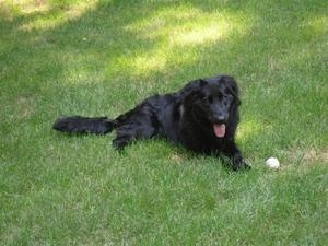 Cole - Courtesy List is an #adoptable Flat-Coated Retriever Dog in #Oxford, #MICHIGAN. This is a courtesy listing. Cole is at a foster home and is not affiliated with any rescue organization. My name is Cole, ...