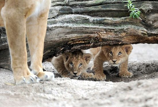 Cute baby lions photo