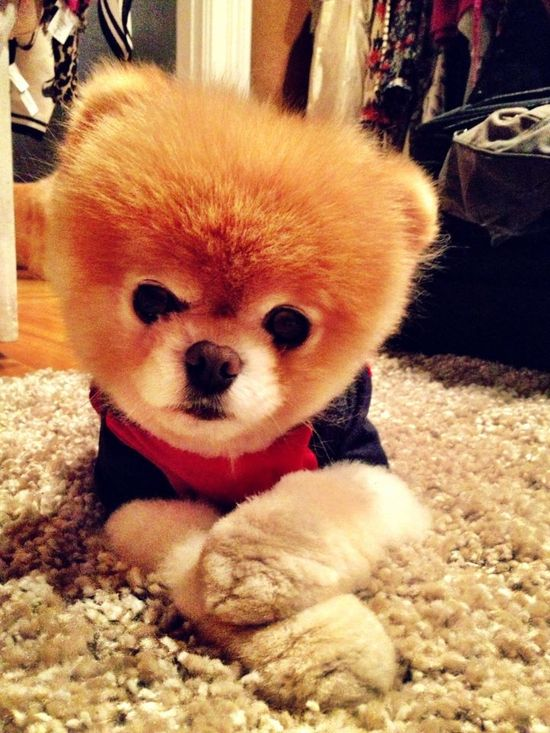 Boo the World's Cutest Dog  www.facebook.com/Boo