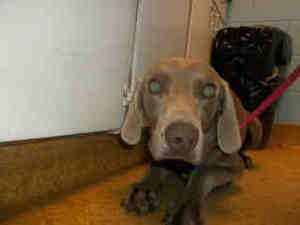 A923130 URGENT AT KERN! is an adoptable Weimaraner Dog in Bakersfield, CA. PLEASE SAVE ME. I AM CURRENTLY AT THE KERN COUNTY BAKERSFIELD ANIMAL SHELTER. To obtain further information, have the PET ID#...