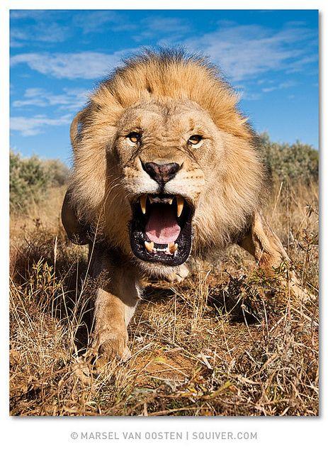 charging lion. credit: marsel van oosten