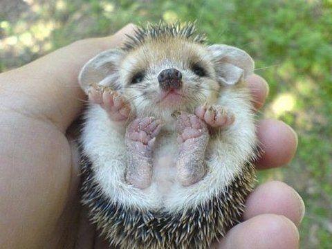 Love baby hedgehogs!
