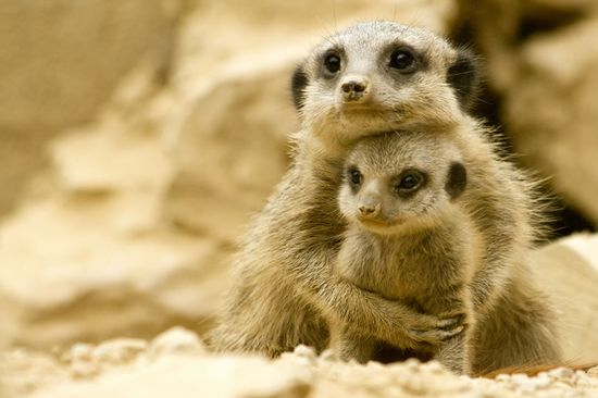 Meerkat momma snuggles her baby