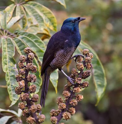 Male Blue Bird-of-paradise